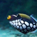 Triggerfish Crossbow-clown, Balistoides Conspicillum)
