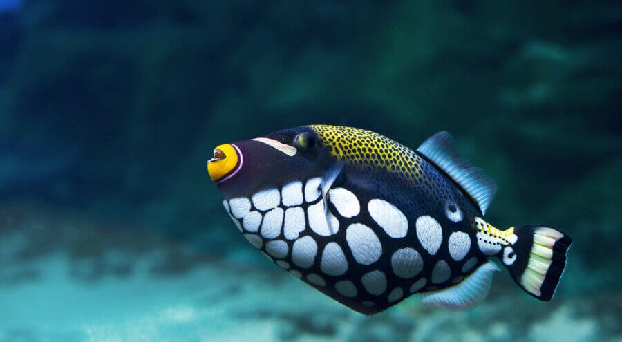 Triggerfish Crossbow-clown, Balistoides Conspicillum)