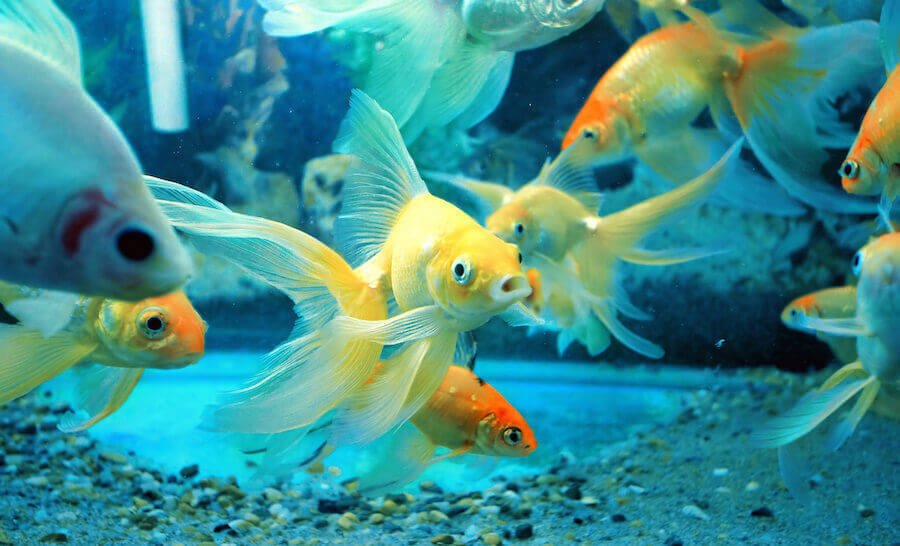 Multiple goldfish swimming in aquarium