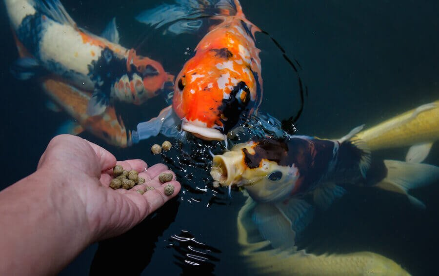 How To Feed Fish Of How Much Should I Feed My Aquarium Fish