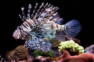 Lion fish in aquarium