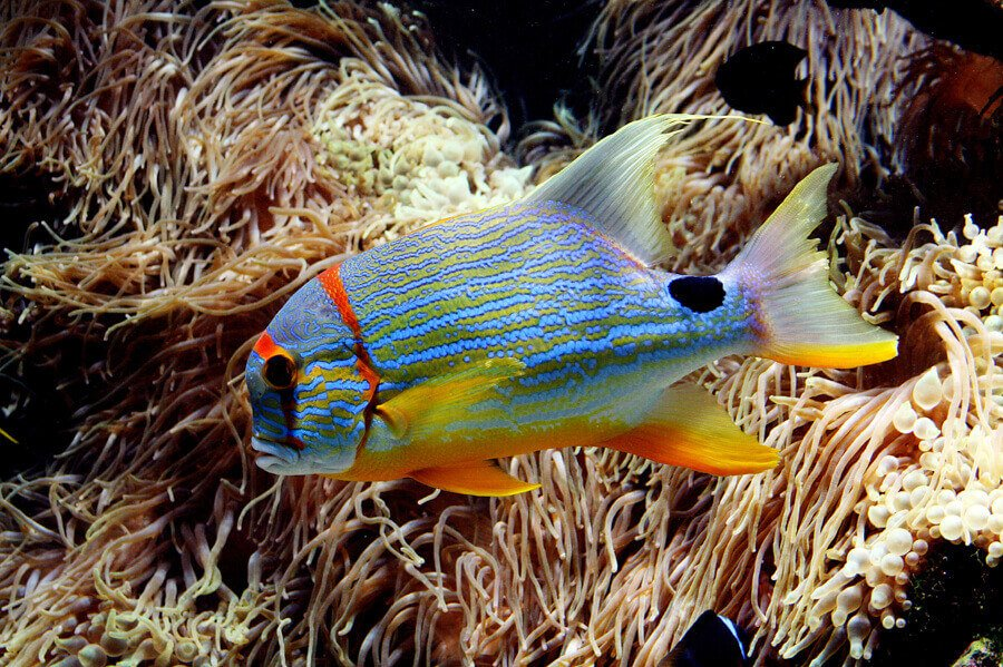 Colorful saltwater fish in reef tank