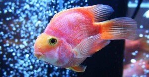 goldfish in aquarium close-up
