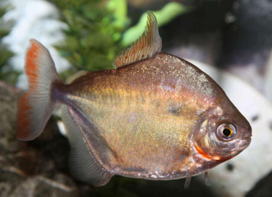 Silver Dollar aquarium fish