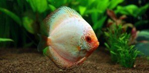 Discus fish in planted tank