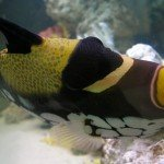 Trigger fish swimming sideways in saltwater aquarium
