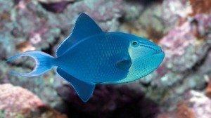 niger triggerfish odonus