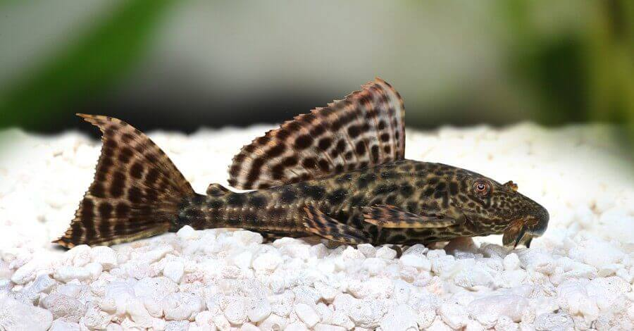 Pleco Catfish Hypostomus Plecostomus aquarium fish