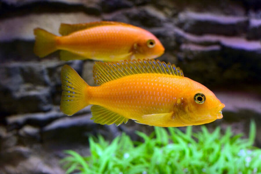 African cichlids in freshwater aquarium