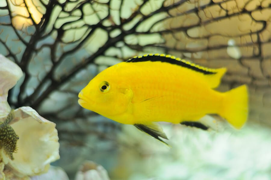 Yellow Cichlid Fish in Aquarium