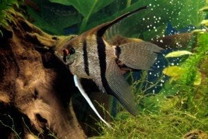 Angelfish in fish tank