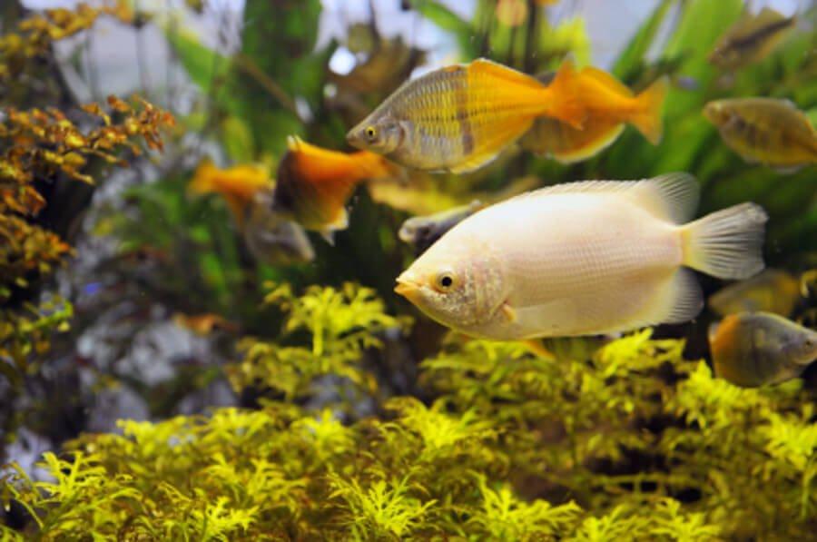 Fish in a planted aquarium