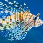 Lion fish in blue aquarium water