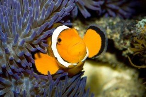 Clownfish in reef tank