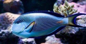 Acanthurus Sohal Surgeonfish
