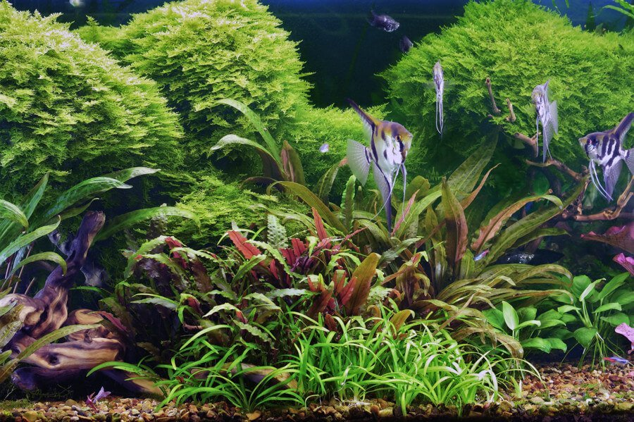 Angelfish enjoy an aquarium with live plants