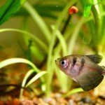 Black Tetra fish in planted aquarium
