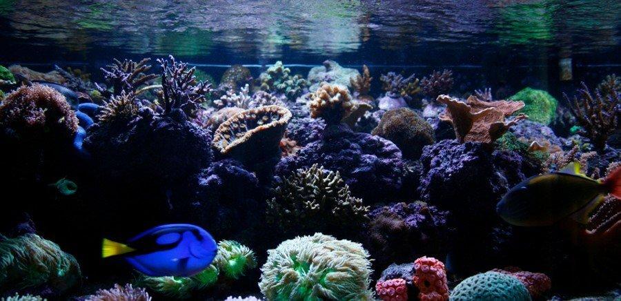 Blue Tang in reef tank