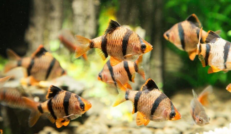 tiger barbs in aquarium