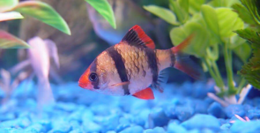 tiger-barb-fish