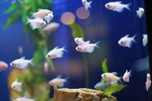 School of tropical aquarium fish