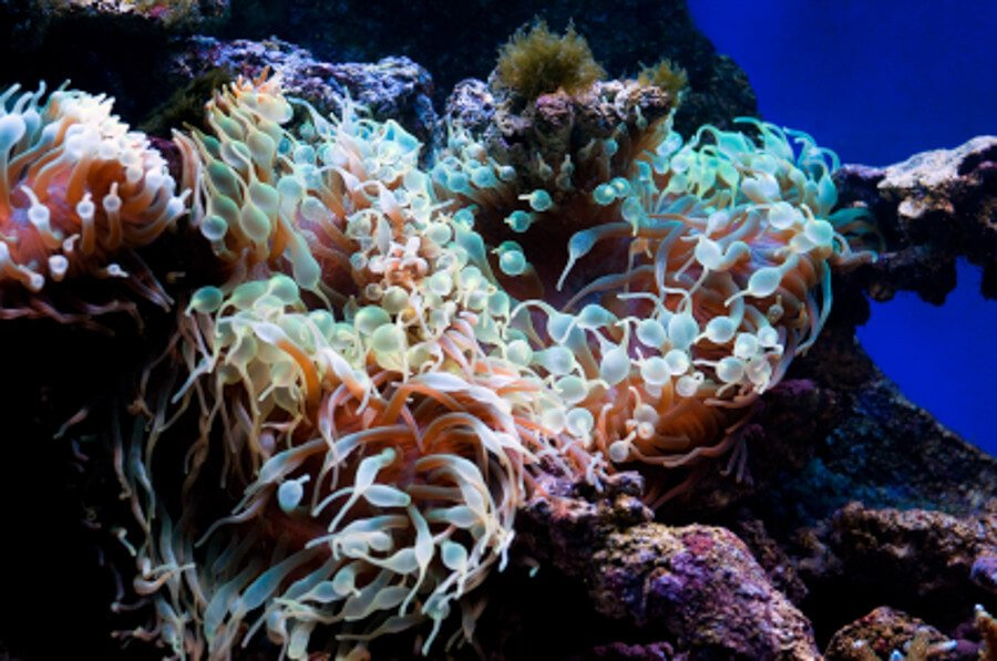 Soft corals in reef tank
