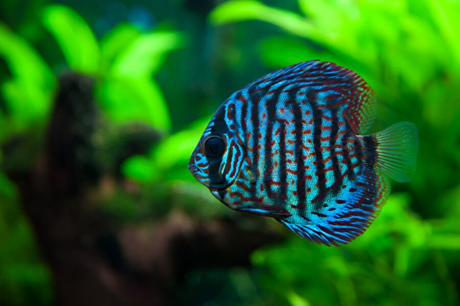 A colorful close up shot of a Discus Fish