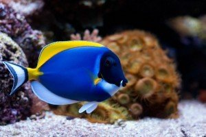 Powder Blue Tang in reef tank