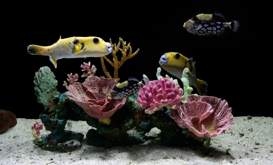 Golden pufferfish in fish-only saltwater aquarium