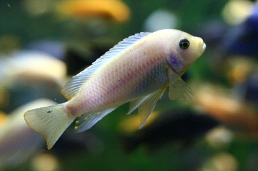 Baby African Cichlid in fish tank
