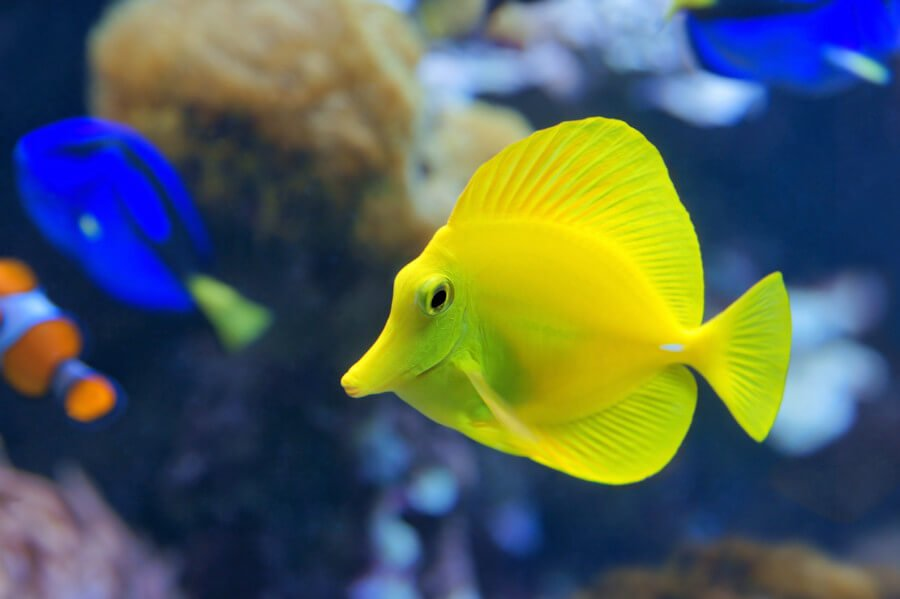 Yellow tang in reef tank