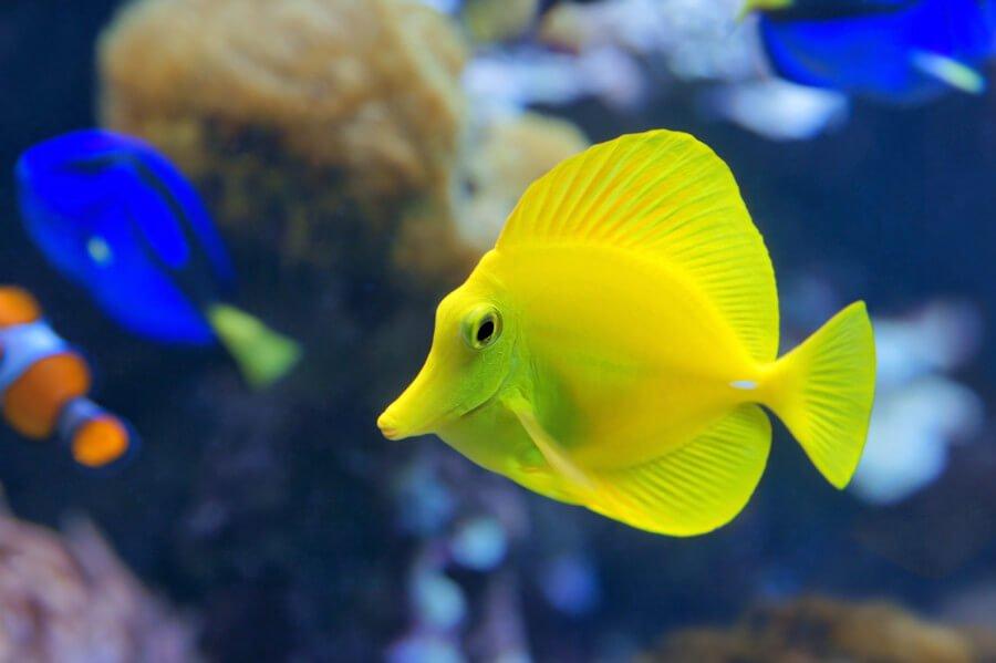 Yellow tang in reef tank