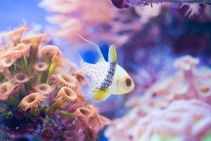 Cardinal in crystal clear and well maintained reef aquarium