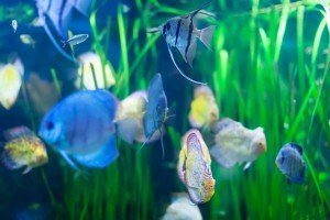 Few discus fish in aquarium