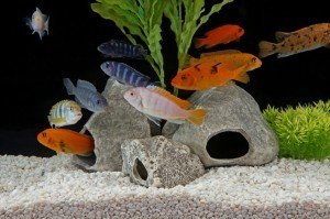 African Cichlids in aquarium