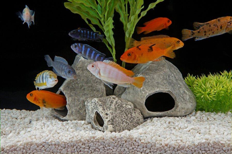 African Cichlids in aquarium