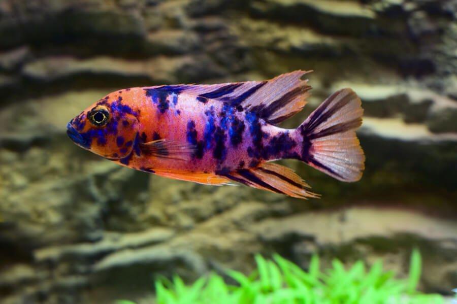 Sick aquarium fish for Common freshwater aquarium fish
