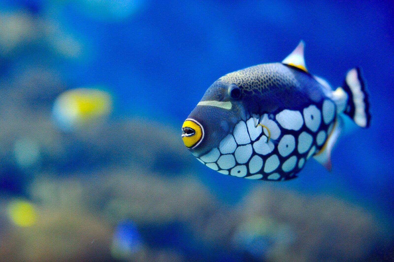 Fish for saltwater aquarium - Saltwater Aquarium Trigger Fish